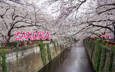 🌸พาชมซากุระ นากาเมกุโระ Nakameguro Tokyo